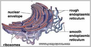 Fungsi Retikulum Endoplasma Kasar